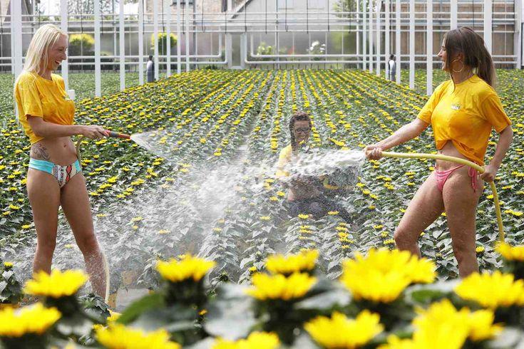 DE LIER - Code geel bij kwekers. Medewerkers van bloeiende plantenkwekerij Sjaak Buijs in De Lier komen in de kas handen te kort om de zonnebloemen op pot van de warmtestress af te helpen. Door de extreme hitte is de verdamping extra hoog en krijgen de planten maar liefst driemaal per dag een frisse