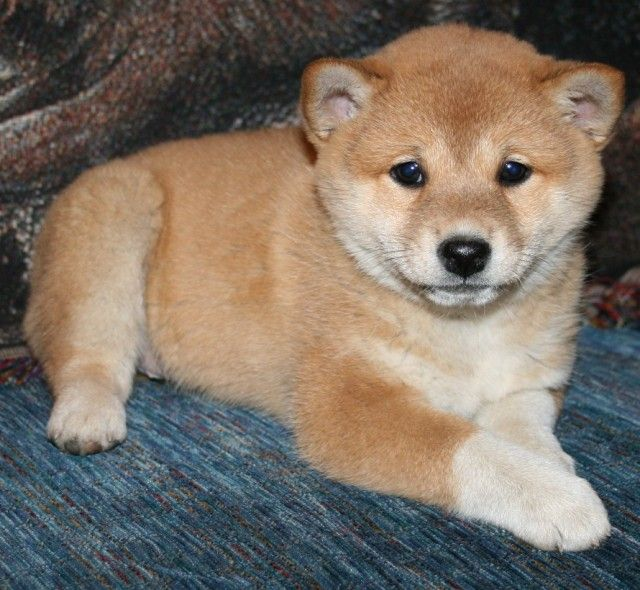 shiba inu puppies for sale   Shiba Inu Puppies For Sale   Burl – Free Australian ...