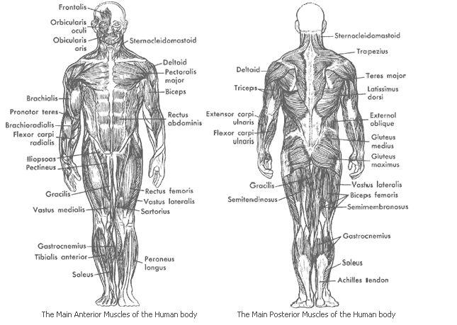 Best 25+ Body Muscles Names Ideas On Pinterest