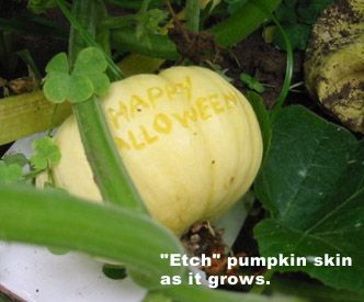 If anyone has been growing their own pumpkins this summer, now is the time to give them a tattoo.  As the pumpkin grows the tattoo becomes a raised scar.  The end result is really cool and creepy.  You can create custom messages or images (you can even write names on Jack Be Lantern pumpkins to use a place cards for a Halloween dinner)    You'll need a template (to create designs) and a small pin (such as a thumbtack) to lightly etch the surface of the pumpkin.  Don't dig out the message or ima...Custom Messages, Halloween Dinner, Growing Pumpkin, Create Custom, Place Cards, Lanterns Pumpkin, Lights Etchings, Places Cards, Create Design