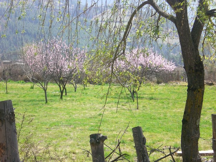 The sound of nature! Plum blossoming in Bhutan
