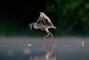 A grey heron appearing to walk on water at a Derbyshire fishing lake