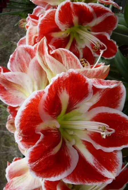 17 best images about hippeastrums on pinterest argentina for Amaryllis hippeastrum