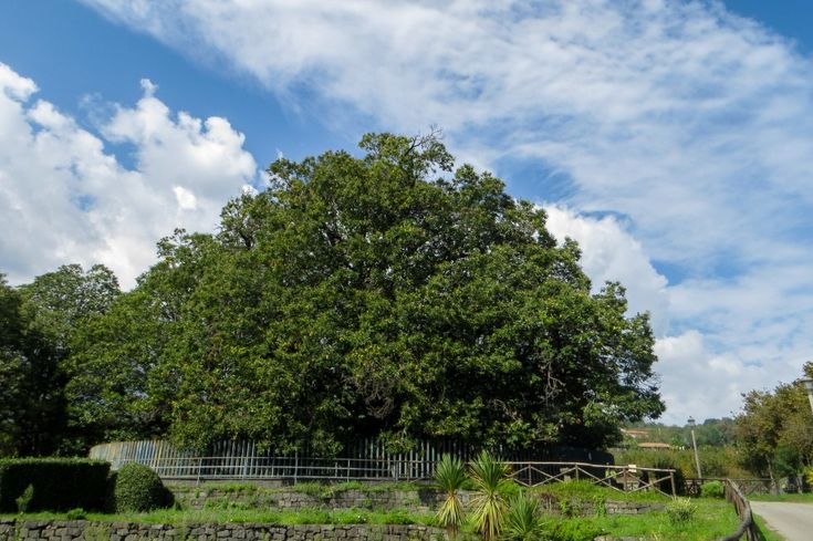 The largest and oldest ( 2000 - 4000 years old ) chestnut tree of Europe. Il Castagno dei Cento Cavalli, Sant'Alfio, Sicily, Italy