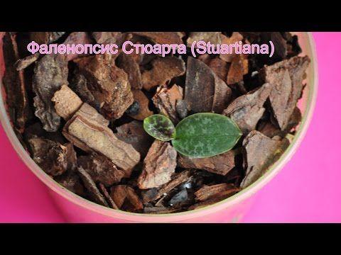 малютка Stuartiana ❤ золотой субстрат ヅ пересадка детки орхидеи фаленопсис Стюарта - YouTube