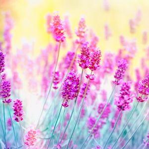 Fototapet Lavender Flower