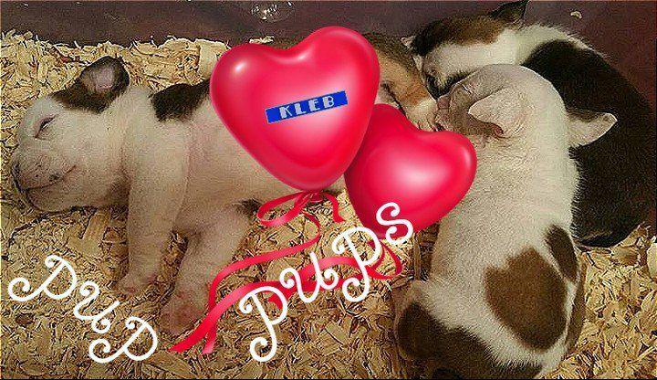 little pup pups   #allenglishbulldogs #theenglishbulldogs #pinterest #englishbulldogs #englishbulldogsofig https://t.co/4rAxkhuHZe