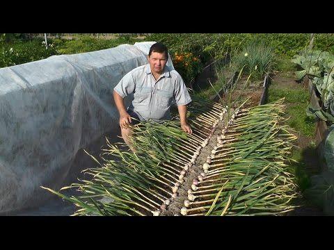 Выращивание озимого чеснока - YouTube