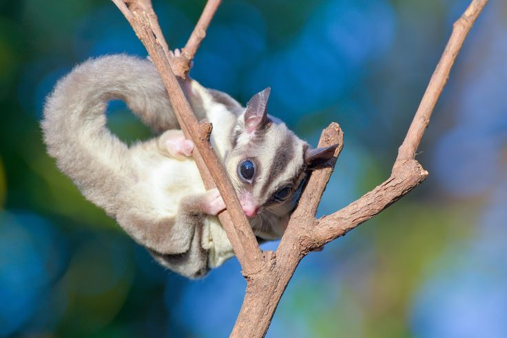 Hello there,Hush! Happy birthday, Mem Fox. Thanks for the magic x #PossumMagic #SugarGliders #Australia #animals #possum #MemFox