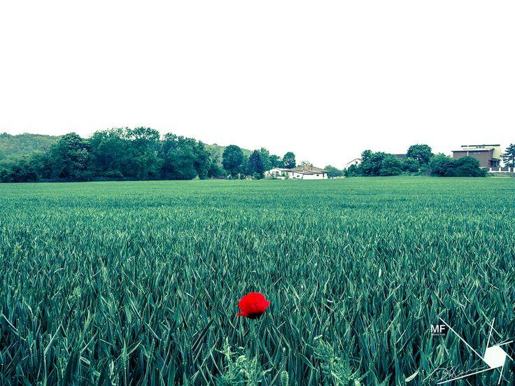 Poppy-Alone | by Munns Foto
