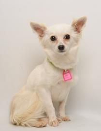 Miss Tickle is an adorable Papillon/Pomeranian Mix looking for a new forever home in Santa Cruz, CA! Check out her page for adoption information!