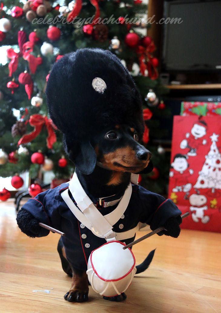 Dog Costumes: Drummer Boy Dachshund by Crusoe the Celebrity Dachshund #puppies #christmas