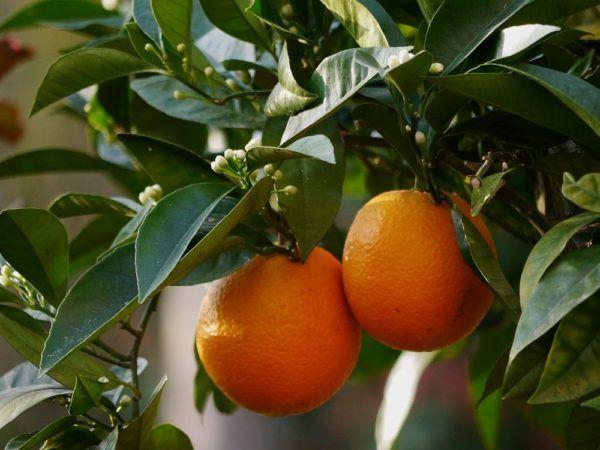 Pflanzen überwintern - so bringt ihr Orangenbäume durch den Winter