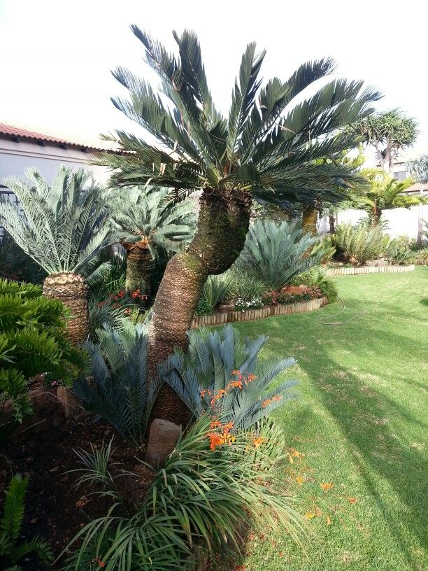 Cycad garden June 2014