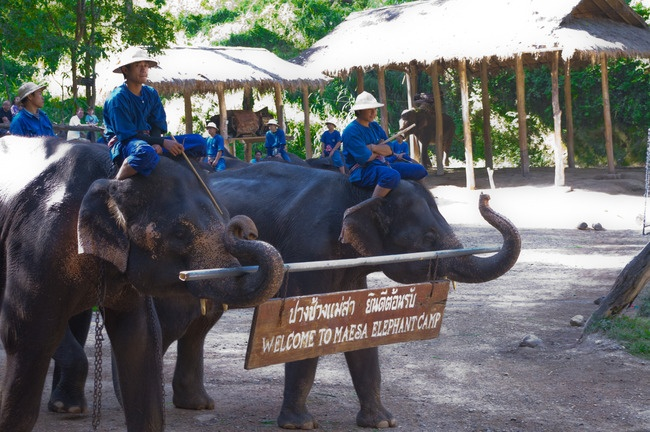 Maesa Elephant Camp    About 20 minutes outside of Chiang Mai lies the Maesa Elephant camp.