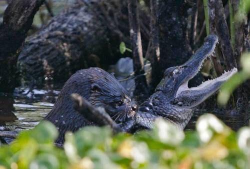 かわ……うそっ…… /【写真】カワウソ猛攻撃でワニを食べる、衝撃的な捕食シーンが話題に。 | Narinari.com