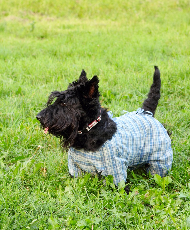 McTavish the Terrier. Fashion Icon and available for Olympic security guard duties...