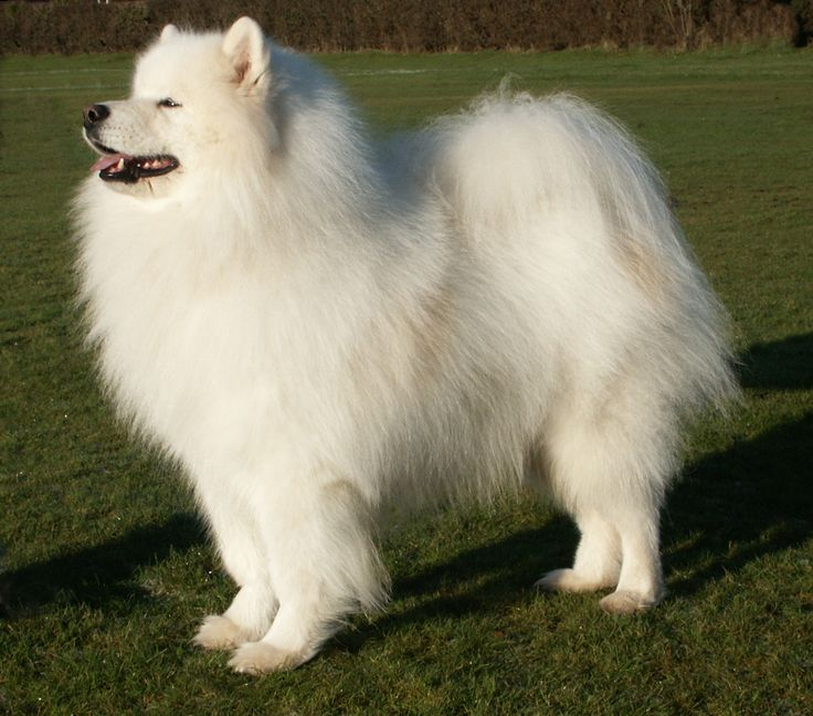 Samoyed For Sale   During 2009 a successful mating took place between