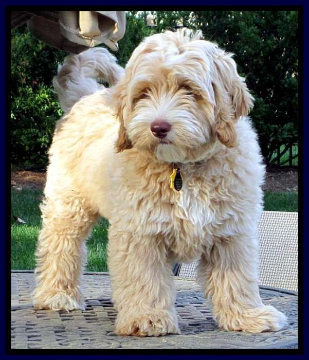 Why Grooming Your Dog Is Very Important Labradoodle Puppies For Sale Australian Labradoodle Labradoodle