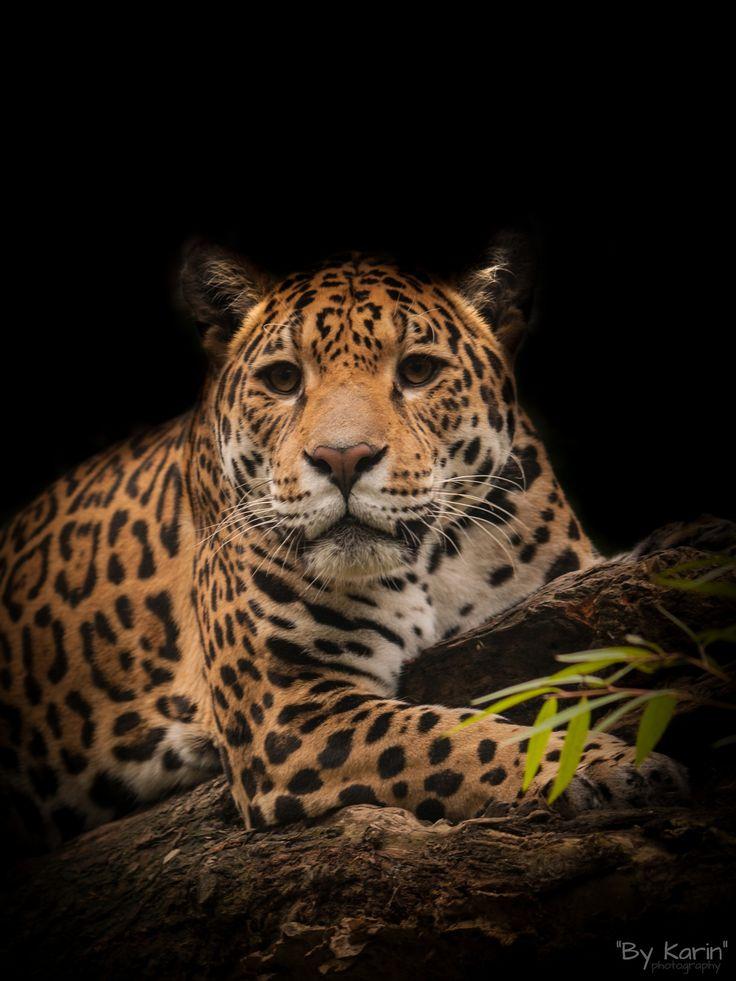 Jaguar Rica on a tree - OLYMPUS DIGITAL CAMERA