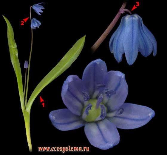 Пролеска сибирская — Scilla sibirica Haw.