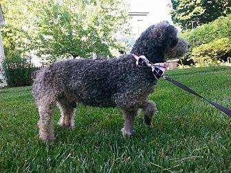 Bellbrook, Ohio - Poodle (Miniature). Meet Horace, a for adoption. https://www.adoptapet.com/pet/15747201-bellbrook-ohio-poodle-miniature