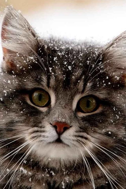 Beautiful Snow Kitty
