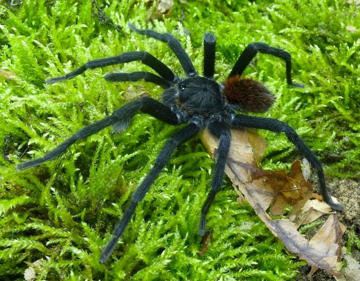 Love in the Time of Tarantulas - New tarantula discovered in Colombia is named in honor of Gabriel Garcia Marquez