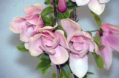 magnolia 'Star Wars'