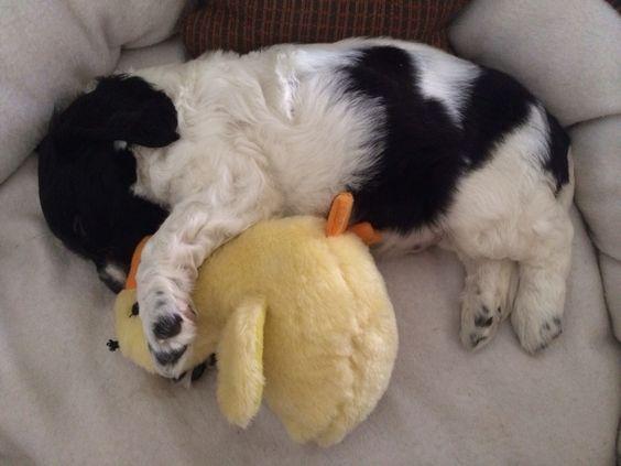 sleeping puppy pics springer spaniel