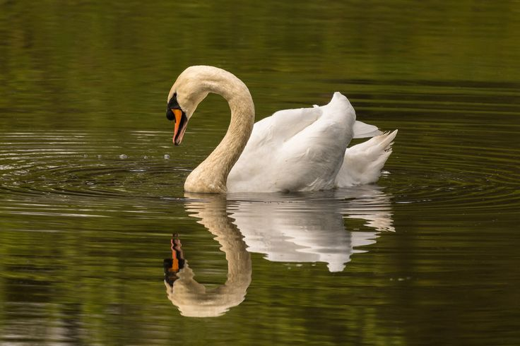 Elegance - A mute swan (Cygnus olor, Höckerschwan) and its reflection in a soft morning light at the Ohlsdorf cemetary in Hamburg, Germany.
