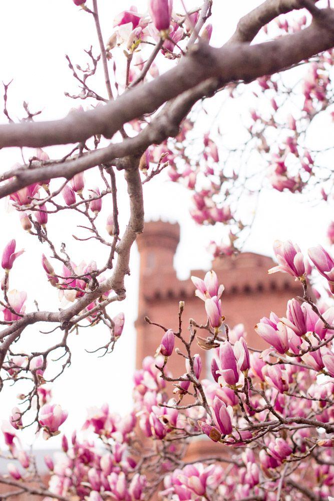 The 2021 Guide To Washington Dc Cherry Blossom Peak Bloom Cherry Blossom Dc Pink Blossom Tree Cherry Blossom Washington Dc