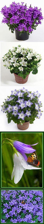 Жених и невеста. Кампанула. Колокольчик - Цветущие растения - Комнатные цветы и растения - Каталог статей - Цветы и растения