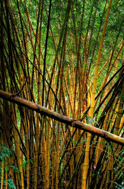 This could be what becomes of May Creeks field as we have the beginnings of a strong bamboo stand!   HDR of a bamboo forest in Puerto Viejo, Costa Rica.: Hdr, Costa Rica I, Costa Rica, Bamboo Forests, Bamboo Stands, Bambo Forests, Forests Puerto, Bamboo Living, Bamboo Photographers