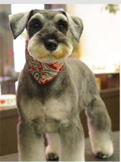 This is actually cute. :)Of course it is.  It is a schnauzer