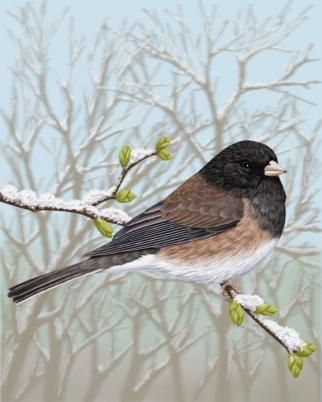 10 best michigan birds towheejuncobunting images on pinterest no shortage of dark eyed juncos at the suet blocks the oregon variant are striking publicscrutiny Gallery