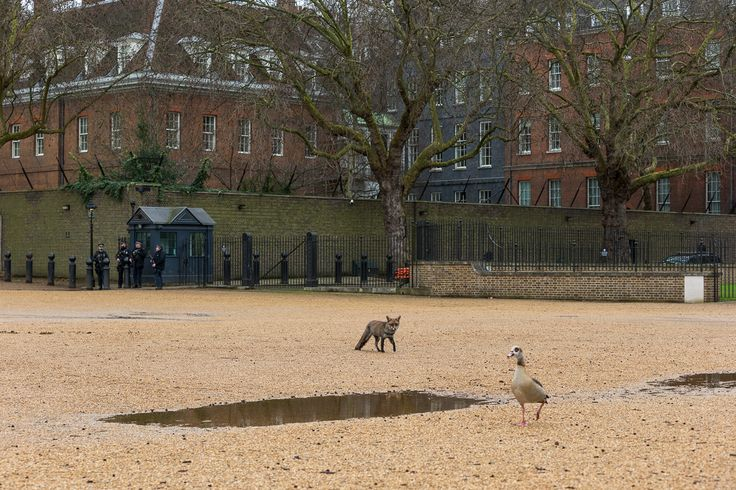 Urban Fox in Horseguards Parade during the day - https://neilcordell.com/blog/urban-fox-in-horseguards-parade-during-the-day/