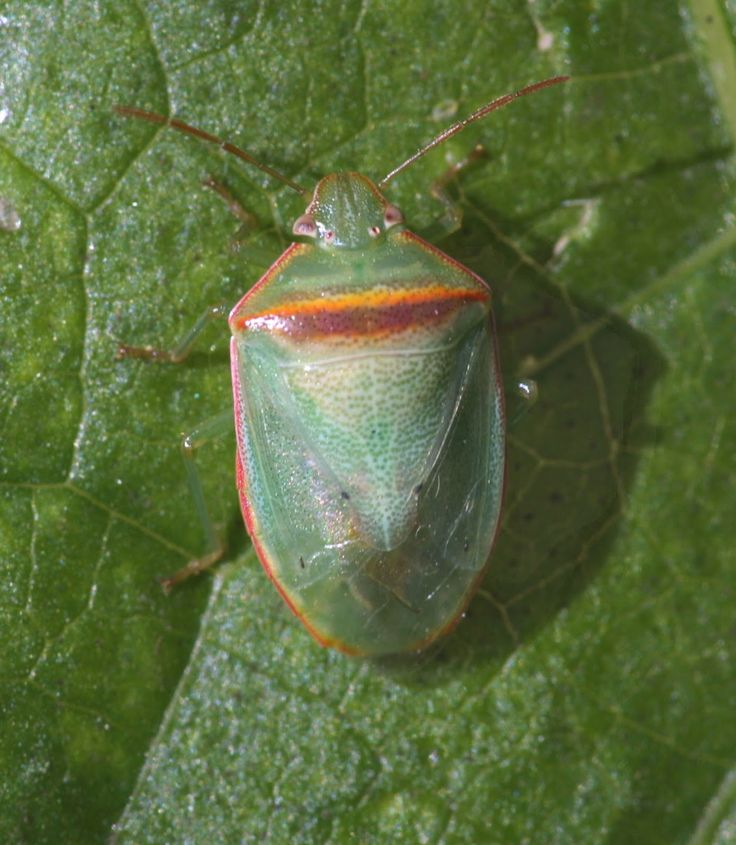 redbanded stink bug BAD; I think any green stink bug is BAD