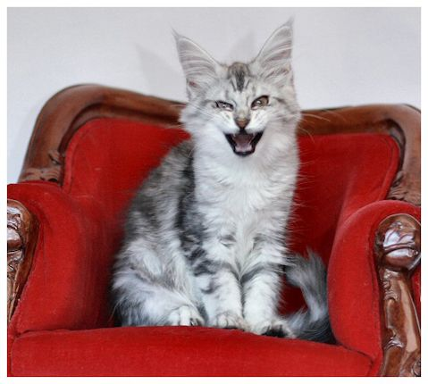 Maine Coon, funny faced furry tails. Mohegan's, Irish Myst. Photo by #CatteryMohegan.