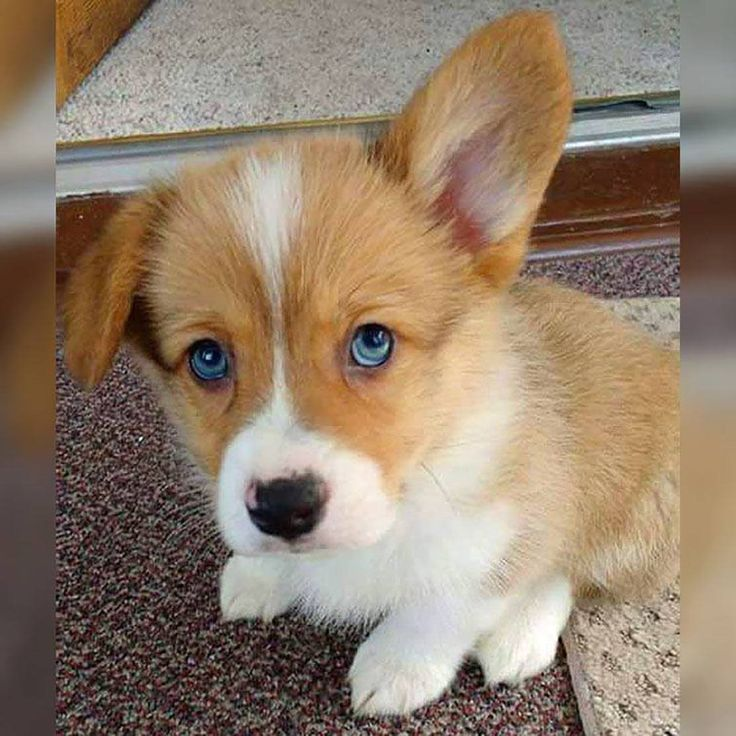 Blue Eyes , Floppy Ears (With Images)