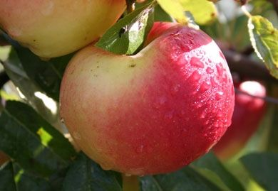 Vælg et æbletræ, der passer til din haves størrelse
