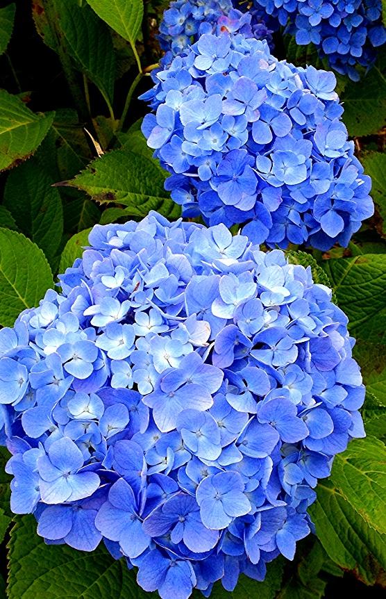 【 教秀 書写 書道 】花【 Kyoushhu japanese calligraphy 】Flower: Hydrangea Garden, Secret Garden, Beautiful Flowers, Japanese Calligraphy, Yard Ideas
