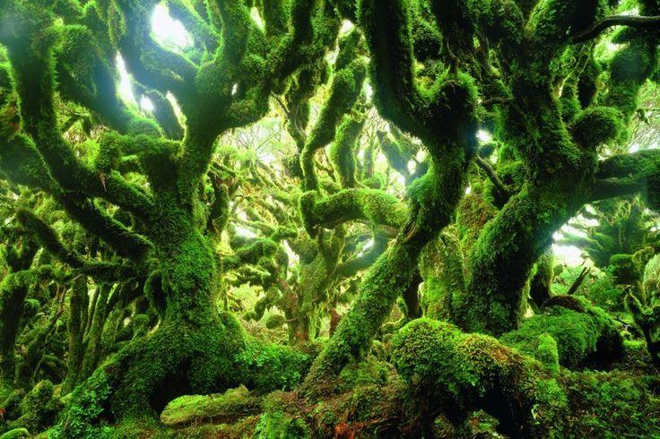Paysage de forêt, Nouvelle-Zélande. Dans les forêts de montagne de l'île du Sud, au cœur des Alpes néo-zélandaises, des couches de mousses et de lichens recouvrent les branches des arbres et offrent abri et nourriture à de nombreuses petites créatures.