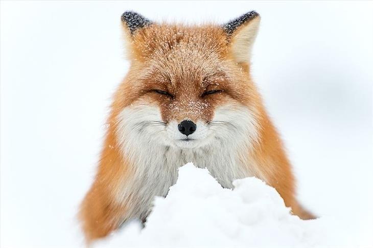 foxes, snow, winter, cute,
