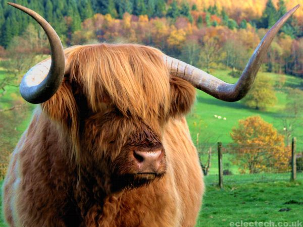 """This is Hamish, the """"Hairy Coo.""""  I met him in Trossachs in Scotland, which is considered the beginning of the highlands. Hamish is a breed called the Highland Cow and he is the sweetest thing ever. I also tried haggis that day... I'll never forget Hamish or the Haggis. :)"""