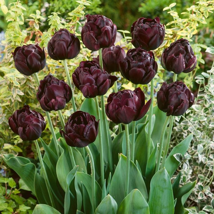 "Tulipa 'Black Hero' ""Zwarte bloemen"" trend 2016"