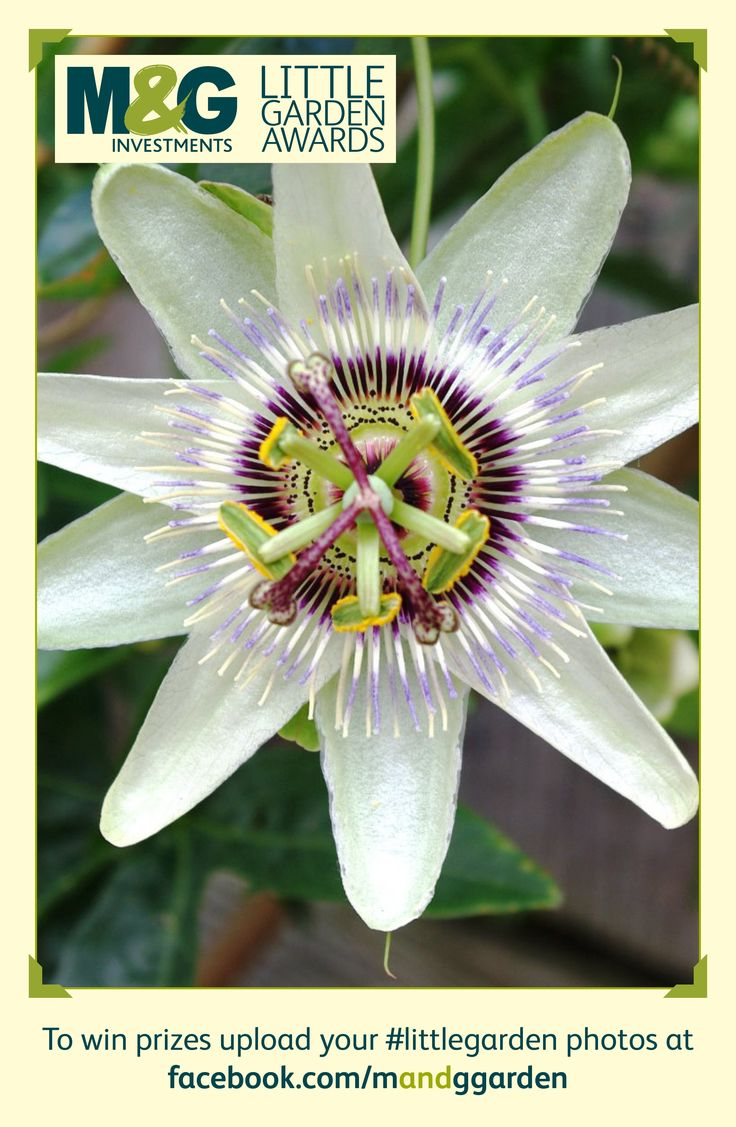White garden Passion Flower (Incarnata): In March your spring flowers may be starting to bloom in your garden. Why not enter the M&G Little Garden Awards to share your gardening tips and photos of your garden for the chance to RHS Chelsea Flower Show tickets.18+ terms & conditions apply:www.mandg.co.uk/lga-terms  #M&G #Littlegarden #Win #London #Chelseaflowershow #Chelsea #Gardening #Gardentips #Garden #Spring  #Littlegarden #Passionflower #RHS #Flowers
