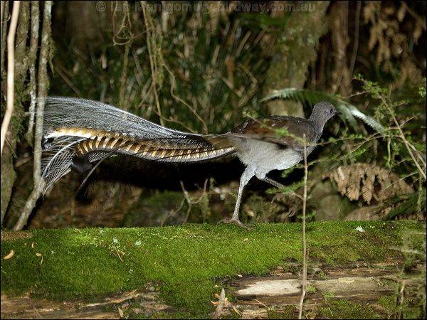 superb lyrebird (Menura novaehollandiae) male