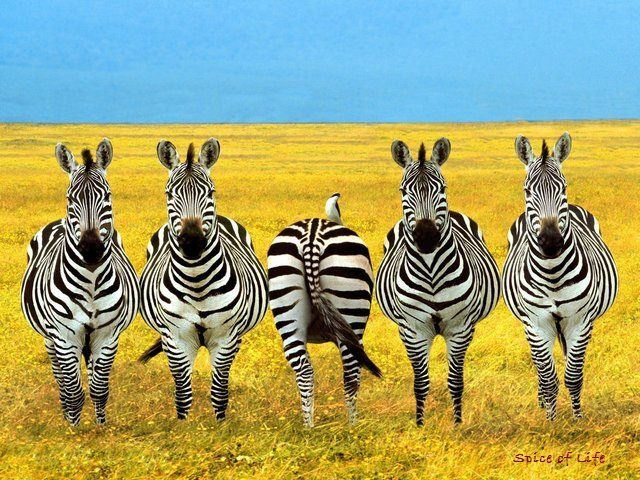 haha!: Picture, Photos, Animals, Stuff, Give, Quote, Funny, Things, Zebras