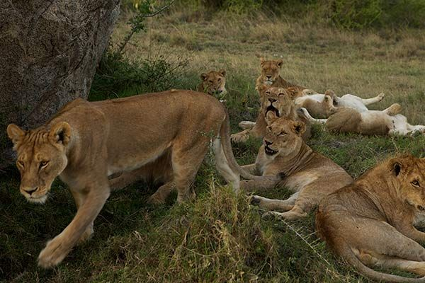 What are these lions talking about?